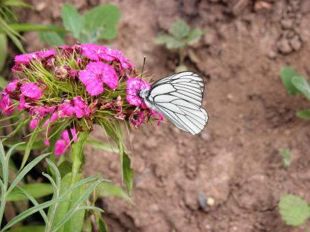 Free Stock Photo of White butterfly on pink flower