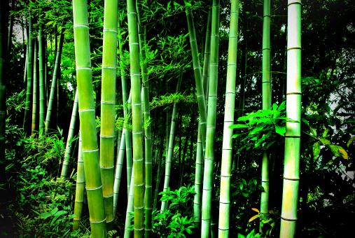 Free Stock Photo of Green bamboo