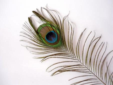 Free Stock Photo of Peacock Feather