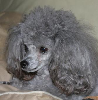 Free Stock Photo of Gray Poodle