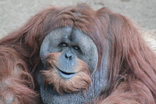 Free Stock Photo of Male Adult Orangutan