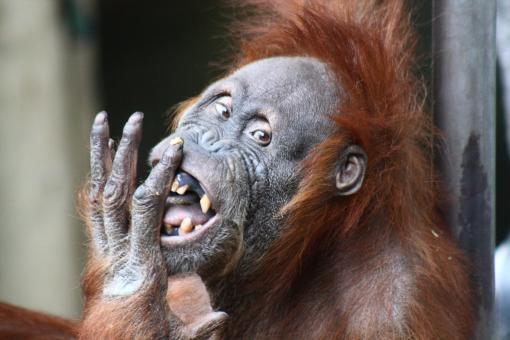 Free Stock Photo of Adult Orangutan