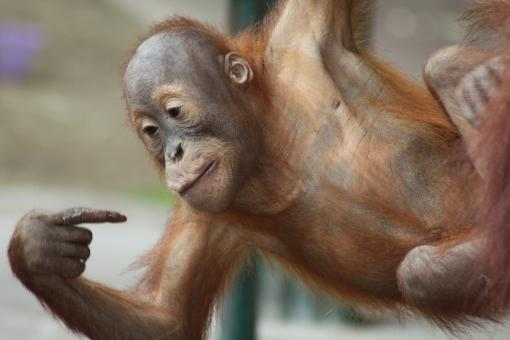 Free Stock Photo of Baby Orangutan