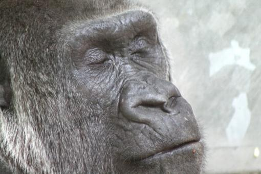 Free Stock Photo of Gorilla