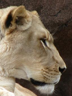 Free Stock Photo of Lioness in profile
