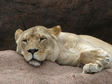 Free Stock Photo of Sleeping Lioness