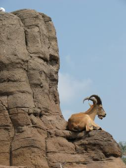 Free Stock Photo of Mountain goat