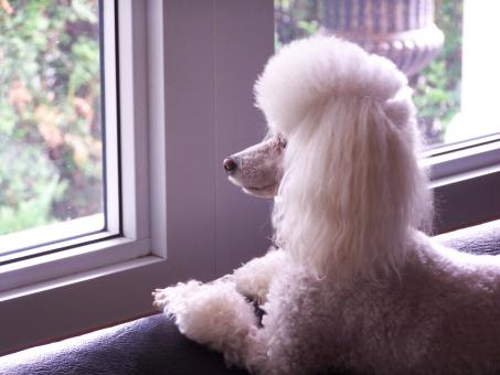 Free Stock Photo of Toy Poodle