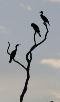 Free Stock Photo of Cormorants Birds