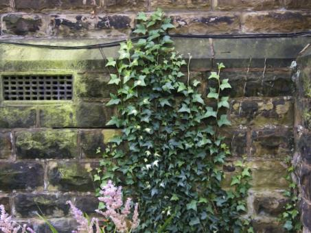 Free Stock Photo of Vine Ivy on church wall