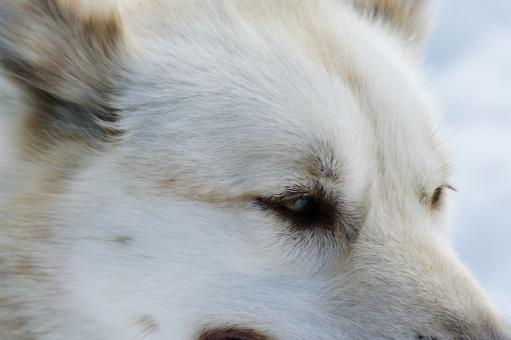 Free Stock Photo of Close up with a husky