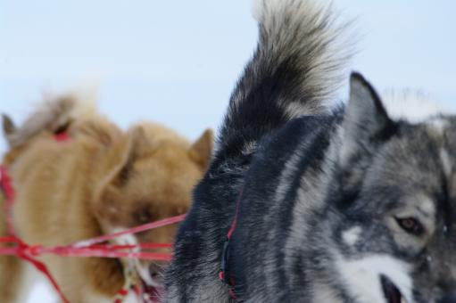 Free Stock Photo of Moutain ride with huskies