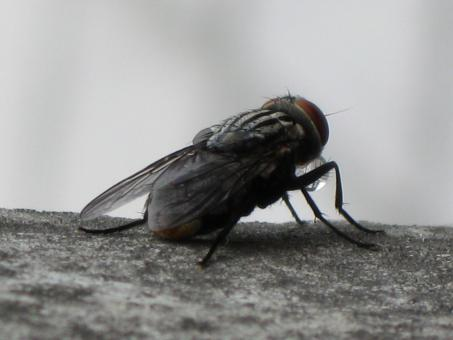 Free Stock Photo of Fly