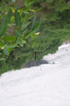 Free Stock Photo of Nephila maculata