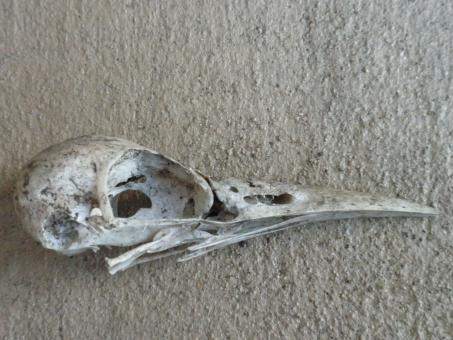 Free Stock Photo of Bird skull