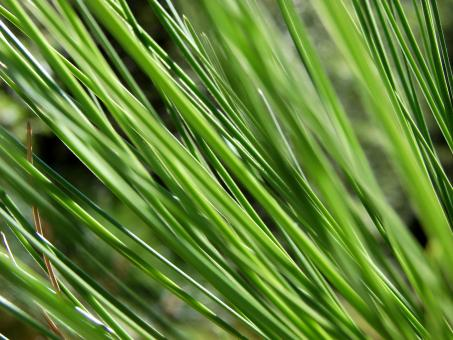 Free Stock Photo of Conifer Needles