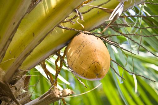 Free Stock Photo of One Coconut Tree