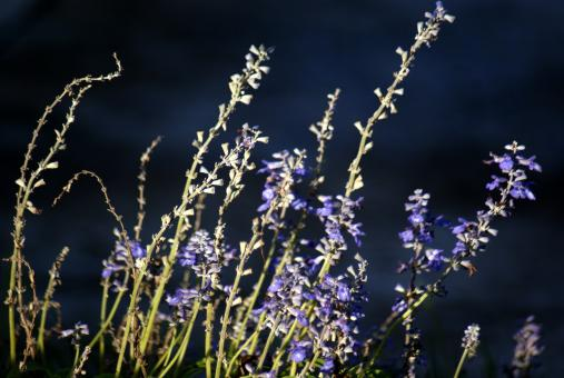 Free Stock Photo of Lavender
