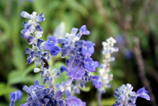 Free Stock Photo of Blue Lavender