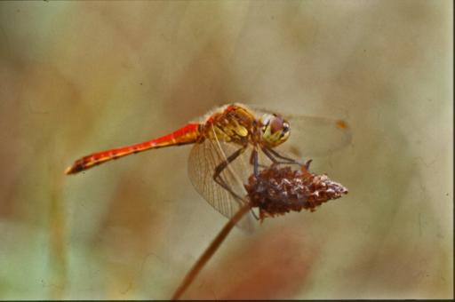 Free Stock Photo of DRAGONFLY