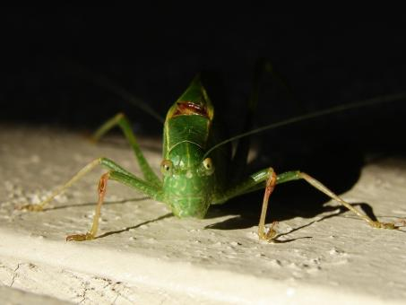 Free Stock Photo of Katydid