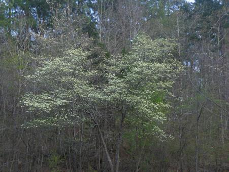 Free Stock Photo of Blooming dogwood