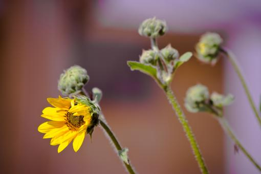 Free Stock Photo of Yellow Sunflower