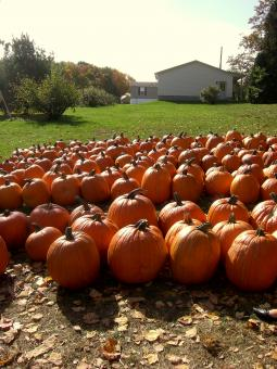 Free Stock Photo of Pumpkin Row