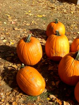 Free Stock Photo of Individual Pumpkins