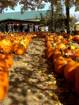 Free Stock Photo of Pumpkin Patch Row
