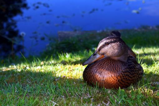 Free Stock Photo of Mallard at rest