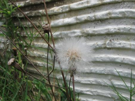 Free Stock Photo of Dandelion