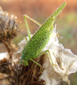 Free Stock Photo of Green Locust