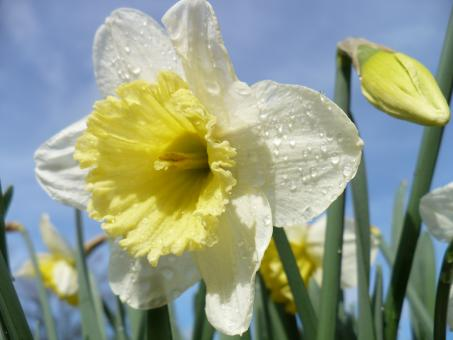 Free Stock Photo of Daffodils