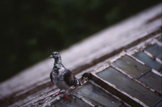 Free Stock Photo of Pigeon on roof top