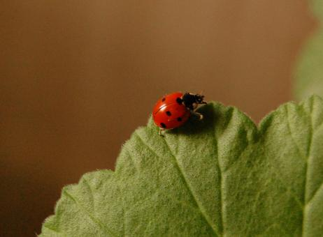 Free Stock Photo of Ladybug