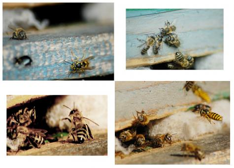 Free Stock Photo of Bees Collage