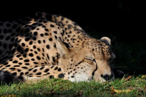 Free Stock Photo of Sleeping Cheetah