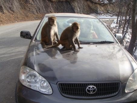 Free Stock Photo of Monkeys on car