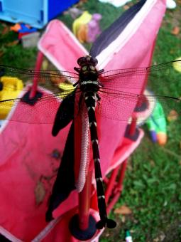 Free Stock Photo of Dragonfly Closeup