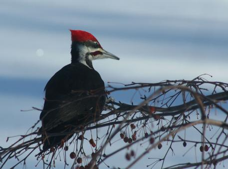 Free Stock Photo of Pileated Woodpecker