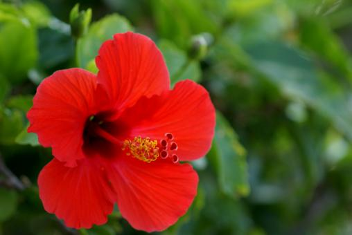 Free Stock Photo of Hibiscus