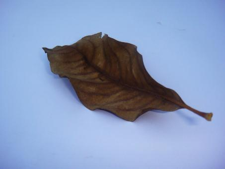 Free Stock Photo of Dry leaf