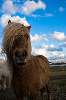 Free Stock Photo of Icelandic Horse