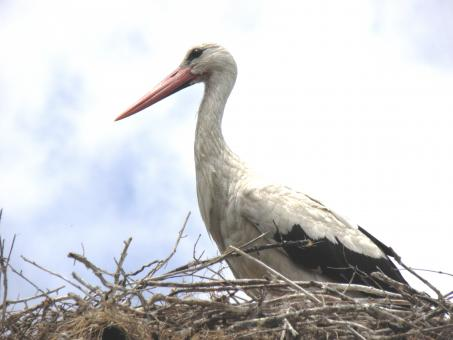 Free Stock Photo of Stork on its nest