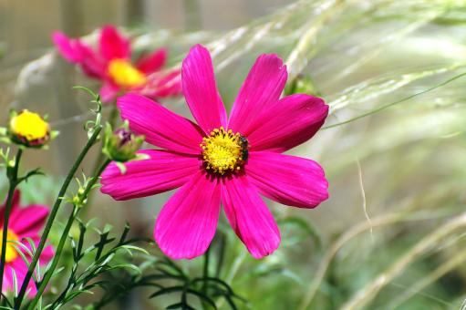 Free Stock Photo of Cosmea flower