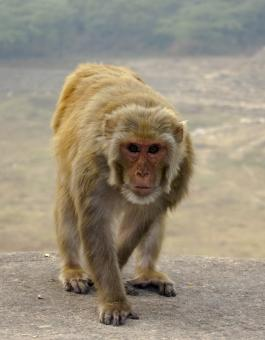 Free Stock Photo of Monkey walking on Stone Wall
