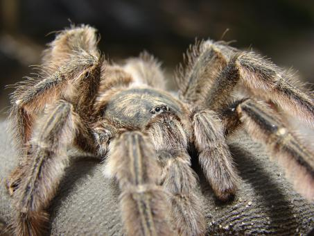 Free Stock Photo of Tarantula