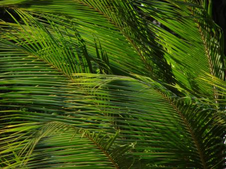 Free Stock Photo of Palm Leaves