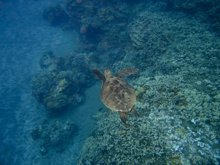 Free Stock Photo of Sea Turtle